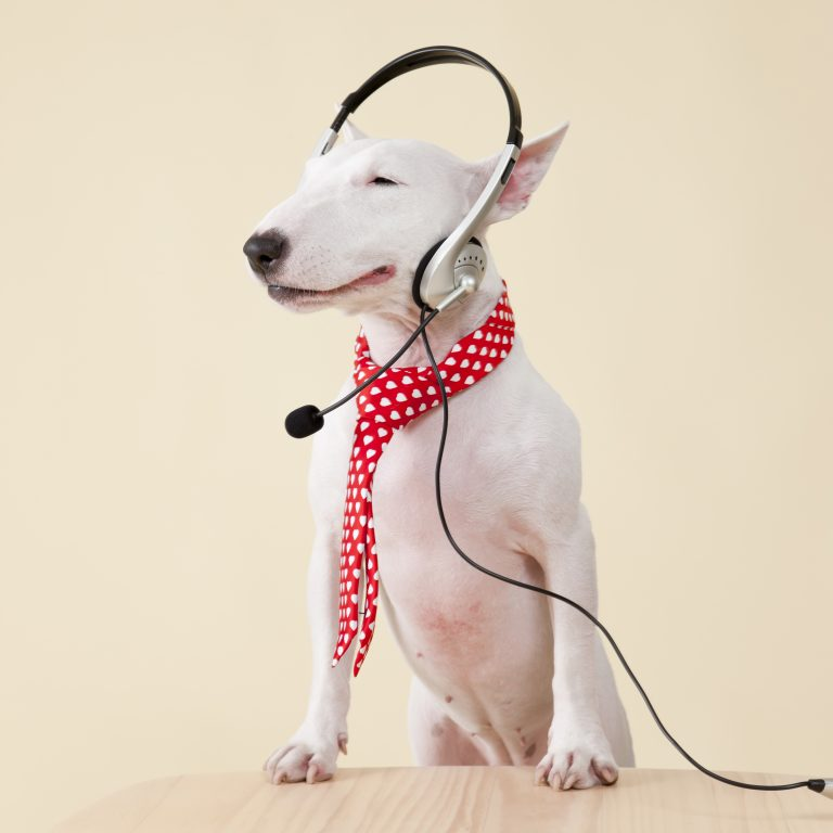 bull terrier with music headset