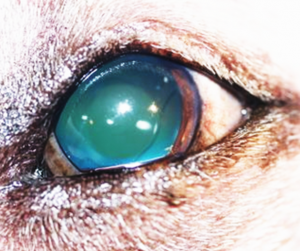 Cataract Surgery in Dogs