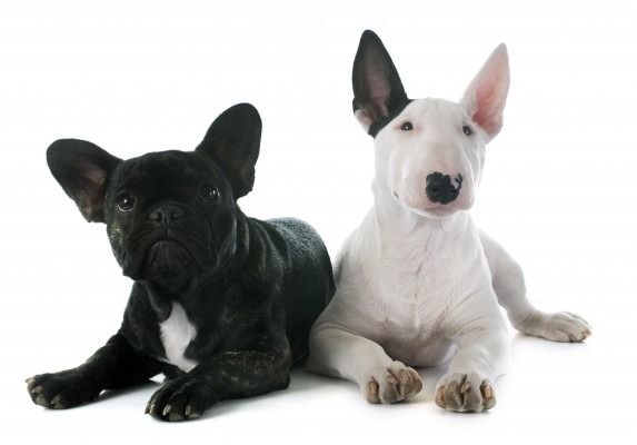 french_bulldog_and_bull_terrier