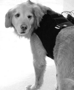 Dog wearing a Holter monitor