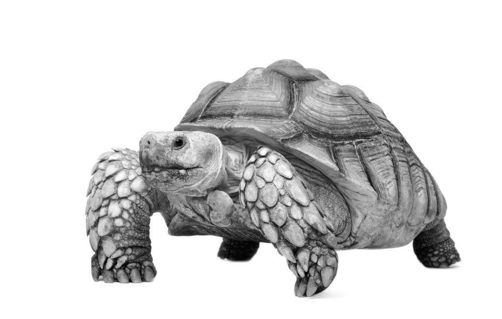 Sulcata Tortoise Background and Care Recommendations | MedVet