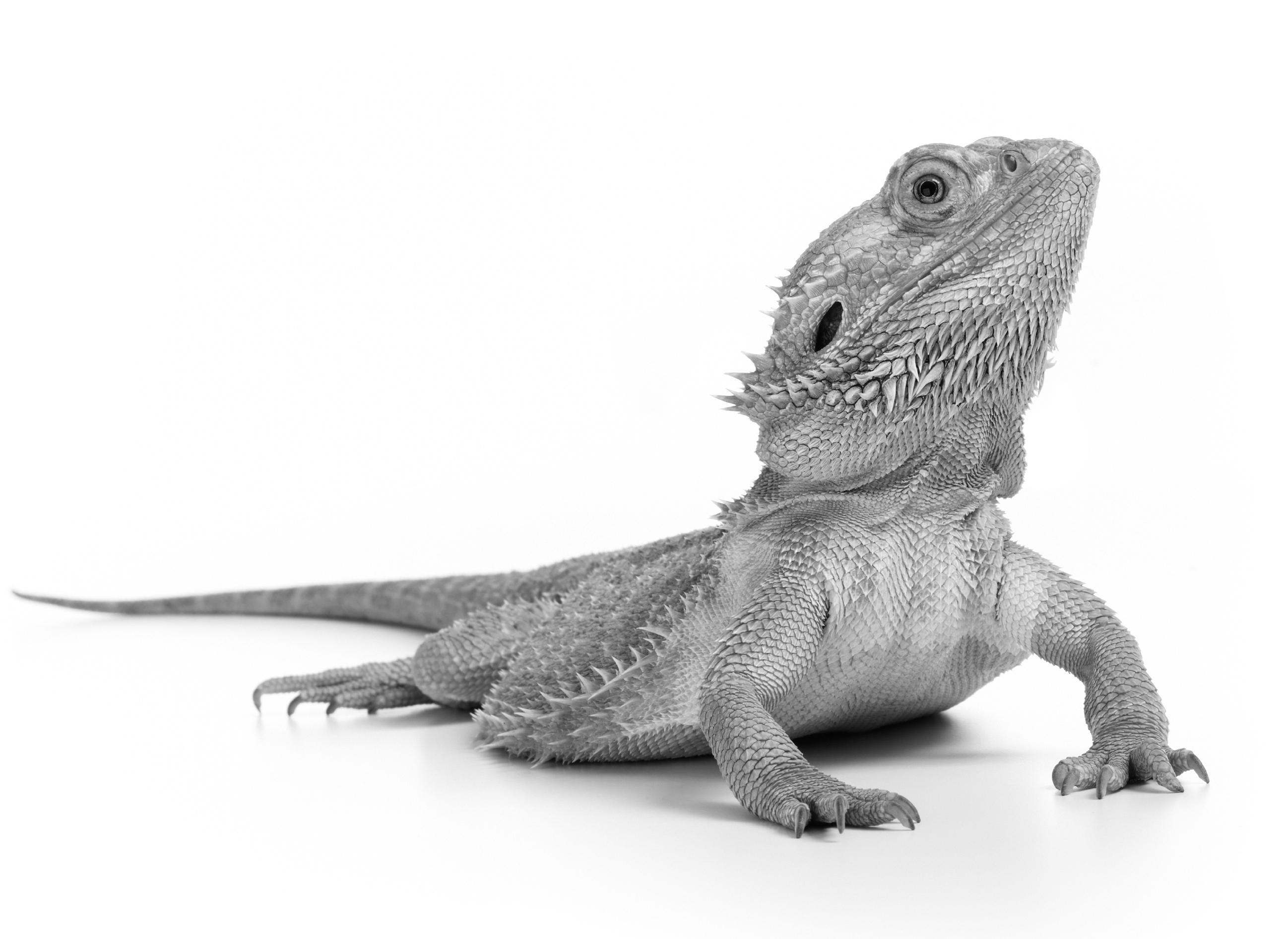 Bearded Dragon History and Care Recommendations | MedVet