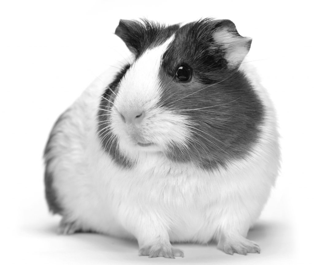 Guinea Pig History and Care Recommendations | MedVet