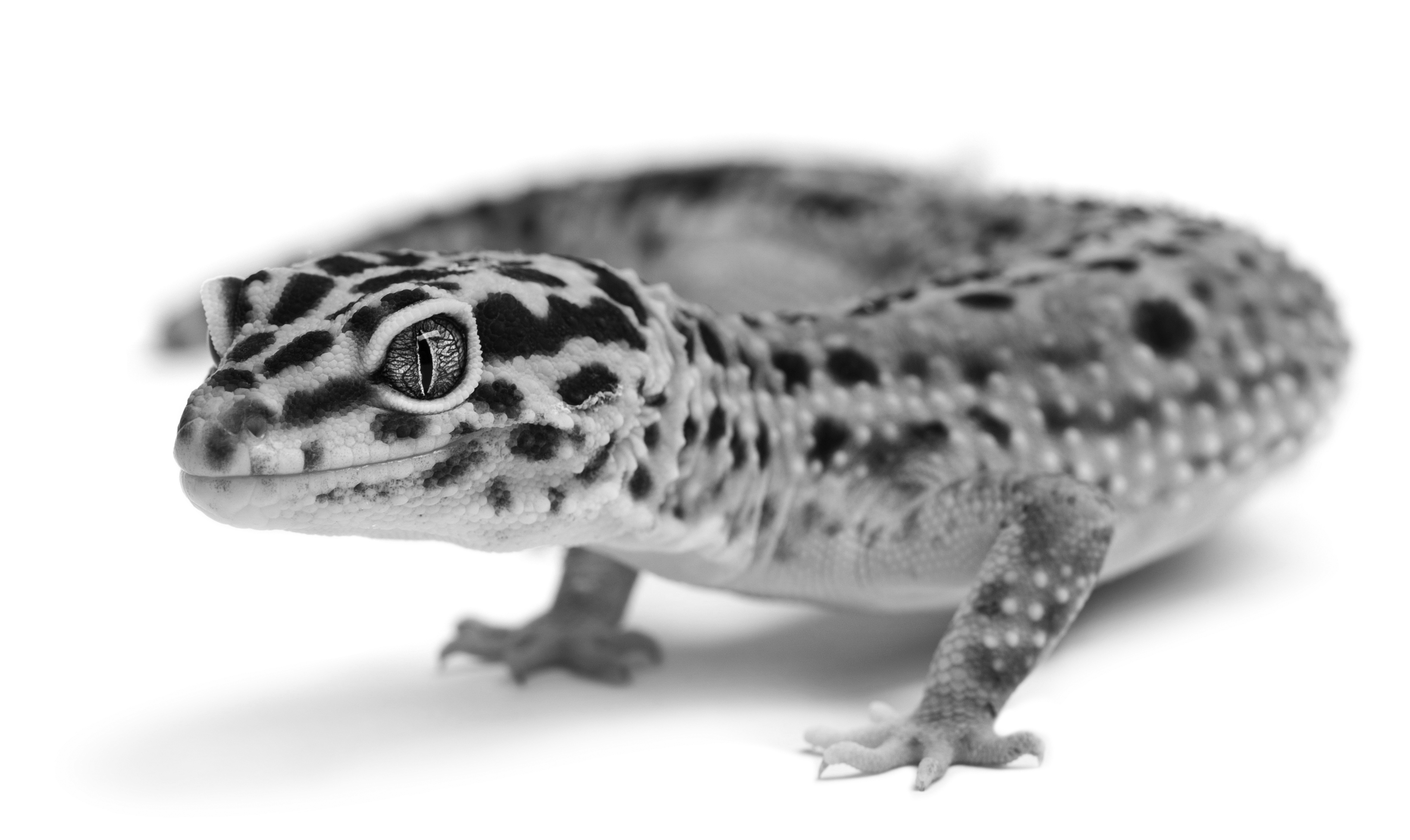 10 Common Diseases in Leopard Geckos | MedVet