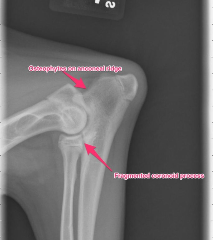 Figure 1. Lateral radiograph of the elbow on a dog with foreleg lameness. Note the osteophytes on anconeal ridge and fragmented coronoid process.