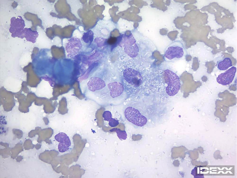 Figure 1. Lymph node cytology from a cat. 100x objective.