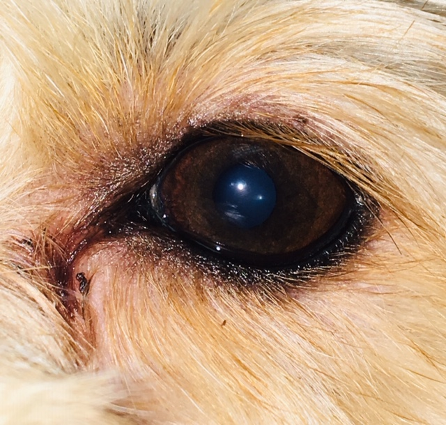 Figure 2. Tear staining in a middle-aged dog.
