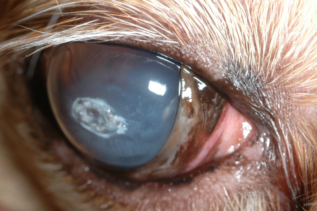 using bandage contact lenses for dogs and cats