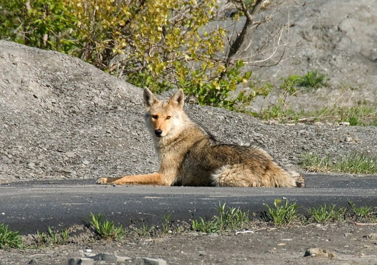 How to Protect Your Dog or Cat from Coyote Attacks