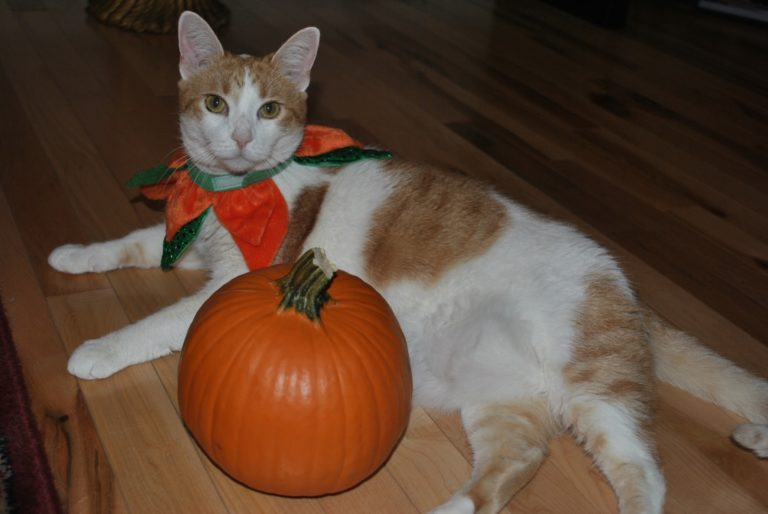 Plumpkin the orange and white cat with her Halloween pumpkin