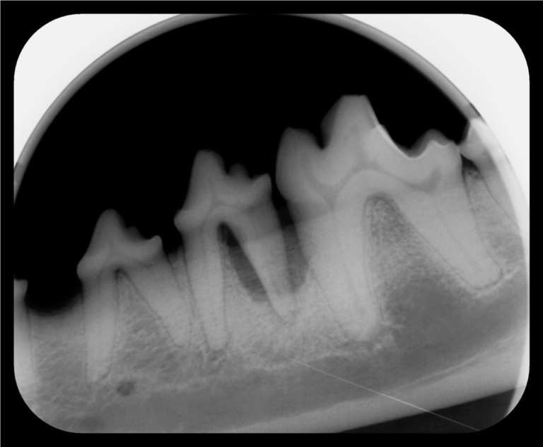 Dental X-ray of a dog that needs its teeth cleaned.