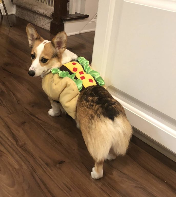 Noodle the corgi is dressed up as a taco