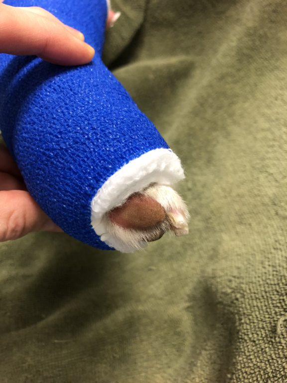 Bandage on a dog leg showing it is too short. Too much of the nails and pads are exposed.