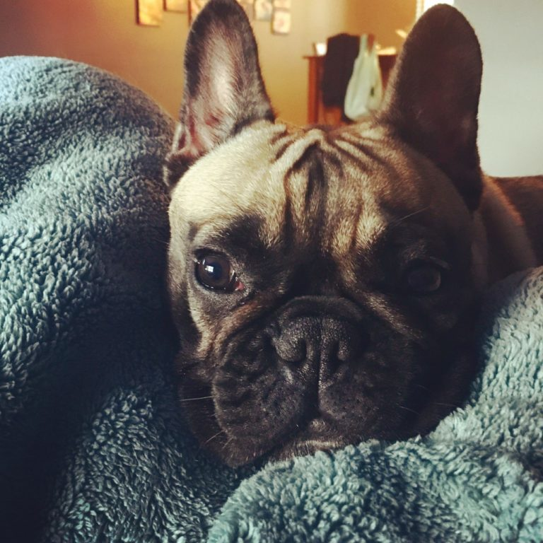 Adorable French Bulldog - An Argument for Early Brachycephalic Airway Surgery in Dogs