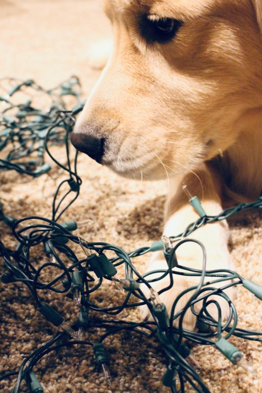 Golden Retriever sniffing Christmas lights