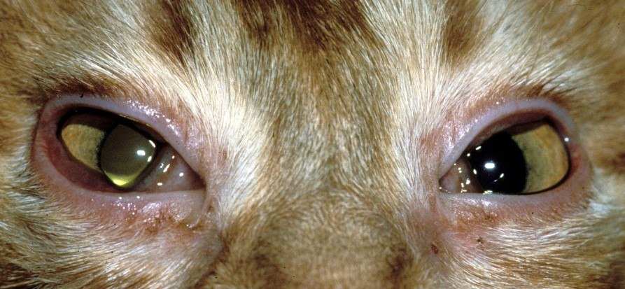 Treating Viral and Bacterial Conjunctivitis in Cats