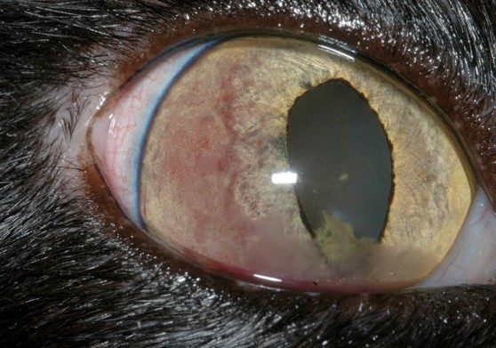 Fibrinous uveitis in a cat infected with Bartonella henselae