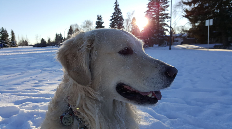 Pet Cold Safety - Dog in Snow