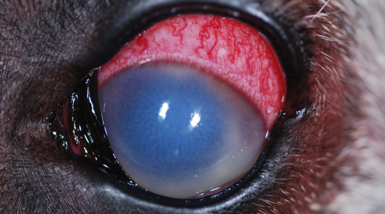 Pet eye with glaucoma