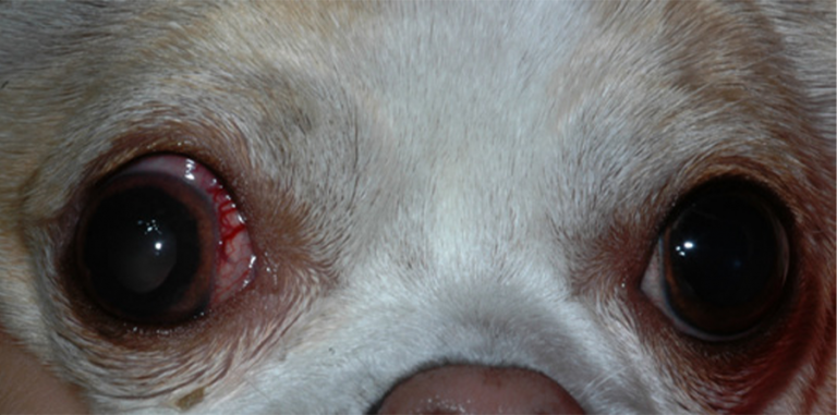 Dog with glaucoma