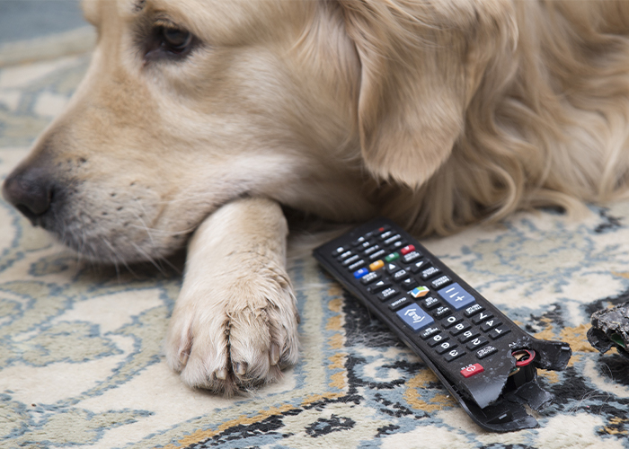 15 Surprising Pet Poisons - Dog with chewed remote.