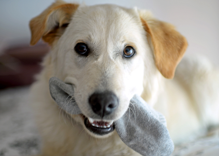 Foreign Bodies - Dog chewing on sock