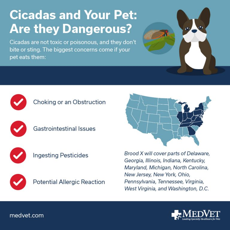 Cicadas and Your Pet: Are they Dangerous