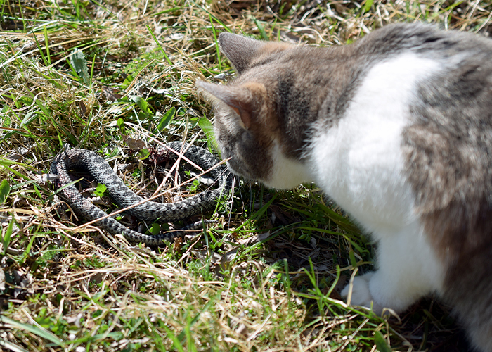 Pet Summer Safety - Cat looking at a snake