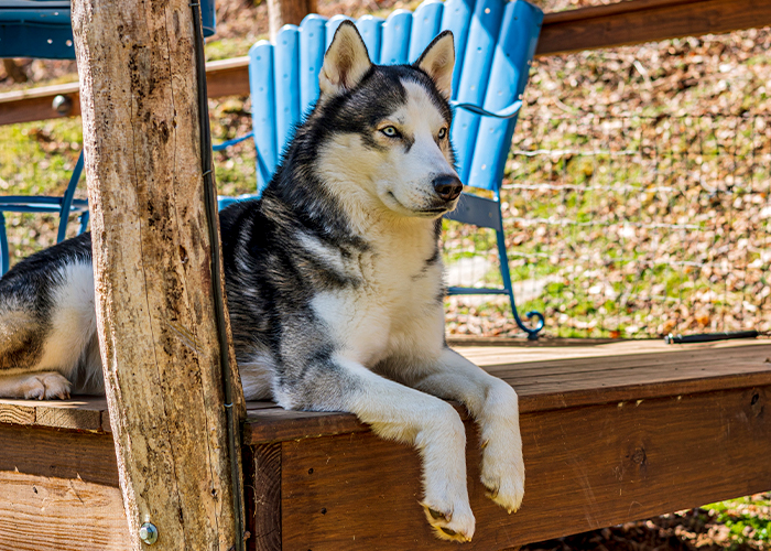 Pet Summer Safety - Dog laying in the shade