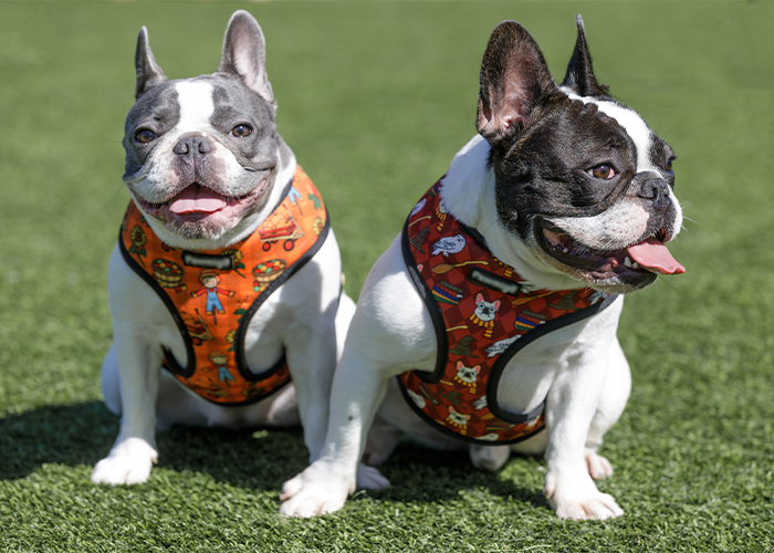 Protecting Your Pet from Heat Exhaustion and Heatstroke - French bulldogs sittin outside