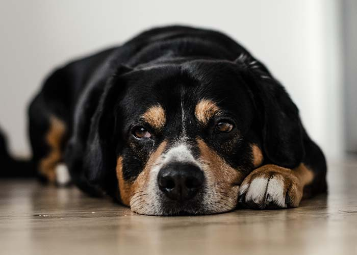 How to Tell If Your Pet Is in Pain and What You Can Do to Help - Uncomfortable Dog