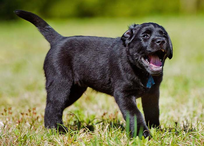 Six Things to Know About Kennel Cough and Your Pet - Black lab puppy coughing