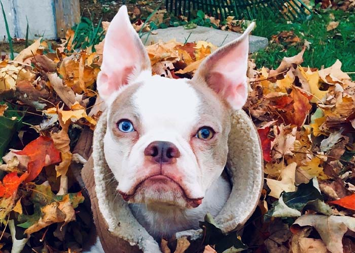 Pet Fall Safety - Dog in a pile of leaves